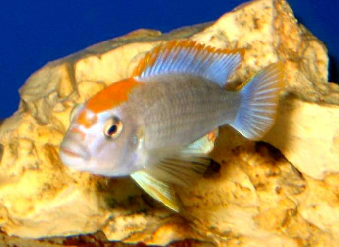 Pseudotropheus red top, Ndumbi